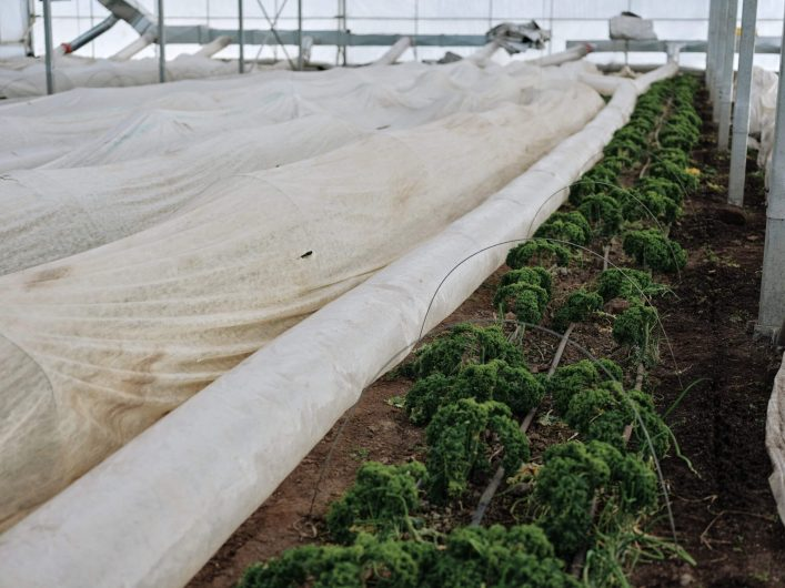 Covering crops with row cover in an unheated greenhouse. / Credit : Alex Chabot