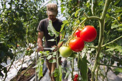 greenhouse-tomatoes-biointensive