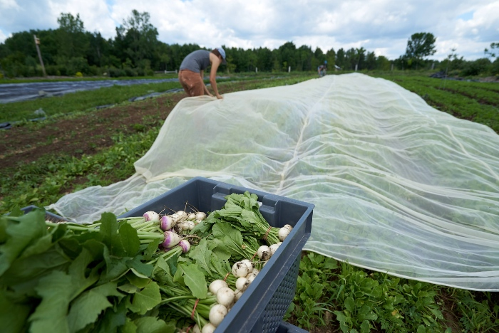 Using insect netting rather than biopesticides is still the more financially wise option. / Credit : Alex Chabot